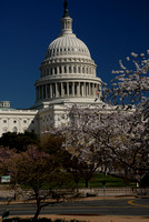 U.S. Capitol during the Cherry Blossom Festival